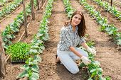 picture of greenhouse  - Woman working in greenhouse with cucumber plants - JPG