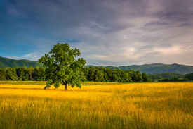 pic of cade  - Tree in a field at Cade - JPG