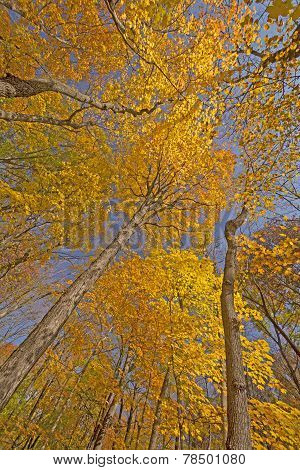 Looking Up Into Tall Trees In Fall