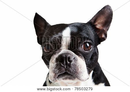 Boston Terrier Dog Looking At Camera