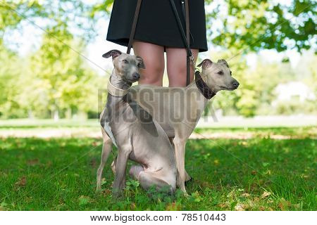 Legs Of The firl and  Two Greyhounds