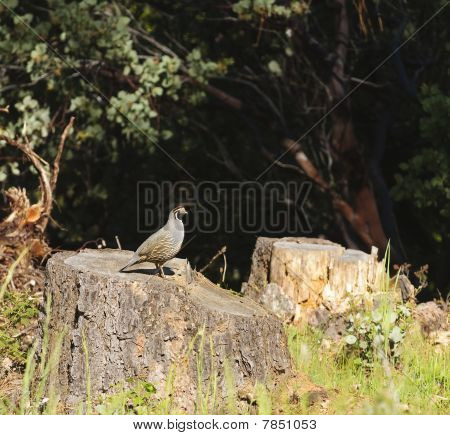 Wildlife In Northern California - Valley Quail