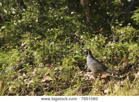 male californian valley quail