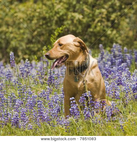 female Lab in wildflowers