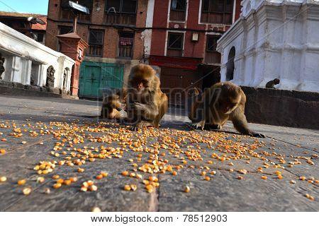 Macaque Monkeys Eating Corn