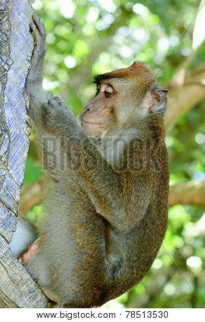 Wild Macaca Monkey In Tropical Forest