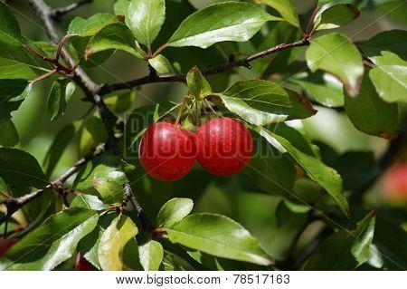 Cherries In Cherry Tree