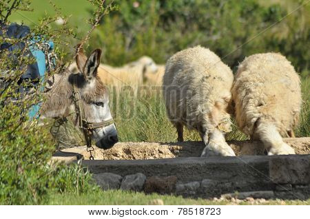Donkey and sheep at the watering hole. Thirsty animals.