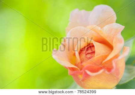 Rose In Citrus Shades