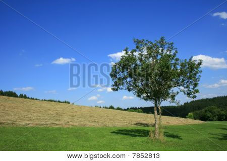 Freshly Mown Meadow And An Apple Tree