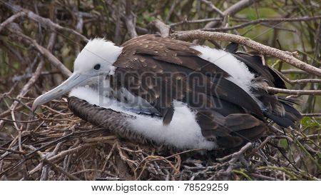 Baby Frigatebird in Galapagos Islands