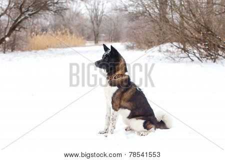 Akita Dog Breed With A Black Muzzle Sit In The Winter Park