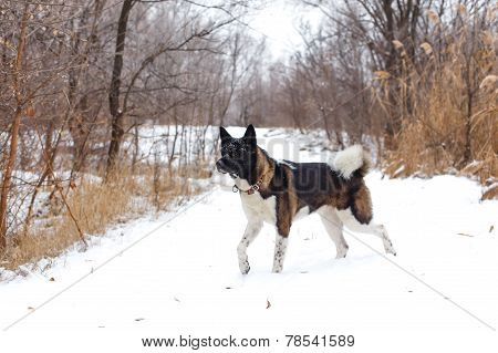 Akita Dog Breed With A Black Muzzle Run In The Winter Park