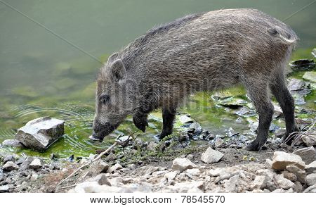 Wild boars on the lake
