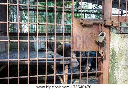 Iron Cage Used Detention Asiatic Black Bear