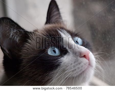 potrait of cat breed snowshoe, closeup