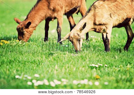 Goats (capra Aegagrus Hircus)