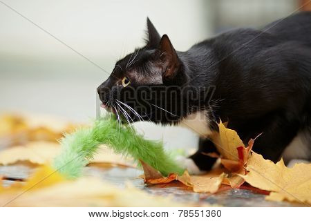 Black And White Cat And Autumn Leaves.