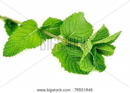 Closeup Of Fresh Home-grown Mint Leaves Isolated