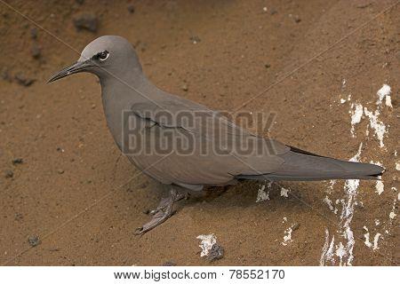 Brown Noddy Tern On A Rock Shelf