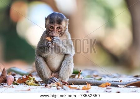 Little Monkey (crab-eating Macaque) Eating Fruit In Thailand
