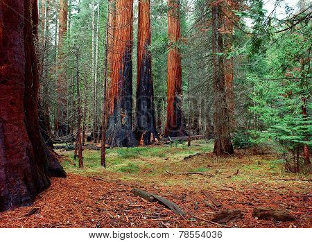 Burnt Giant Sequoias