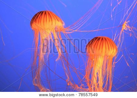 Two red-orange jellyfish with thin feelers. Aquarium with bright blue water