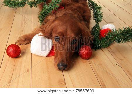 Irish Setter dog with Santa hat and Christmas ornaments.
