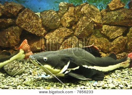 Sheatfish (lat. Phractocephalus Hioliopterus)