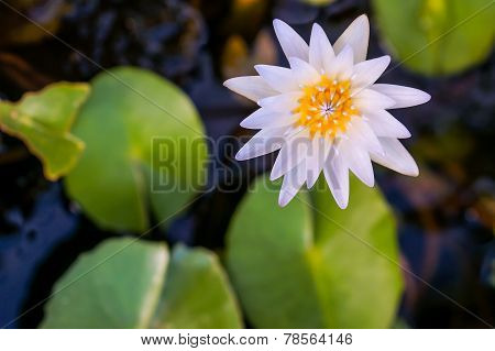 Close Up White Lotus Flower