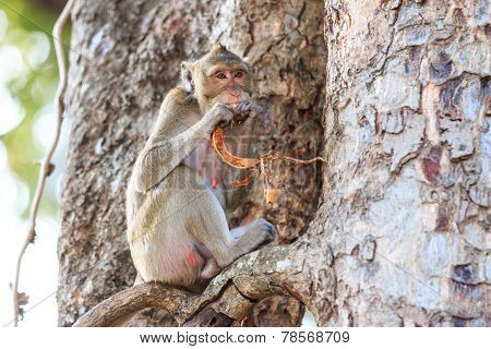 Monkey (crab-eating Macaque) Eating Fruit On Tree In Thailand
