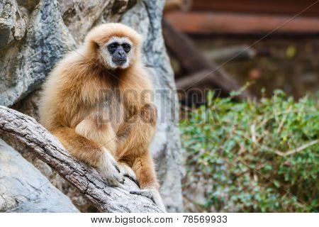 Gibbon (hylobates Lar) ,chiangrai ,thailand