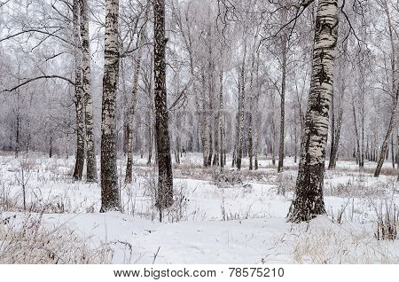Birch Trees Covered With Hoarfrost In Winter Forest