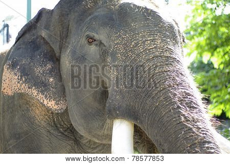 Elephant With Beautiful Tusks