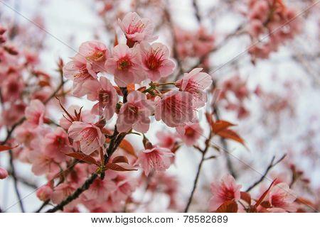 A Wild Himalayan Cherry