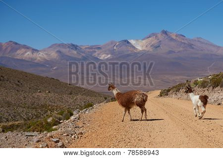 Llama on the Altiplano
