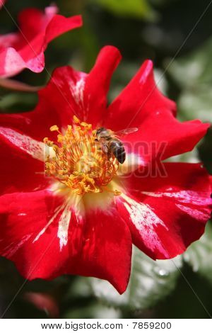 Bee gathering pollen on a blooming Fourth of July roseBee gathering pollen on a blooming Fourth of J