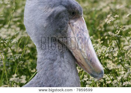 Afrikanische Schuhschnabel, Balaeniceps Rex, auch bekannt als Whalehead, ist ein sehr großer Storch wie Vogel. Es Deri
