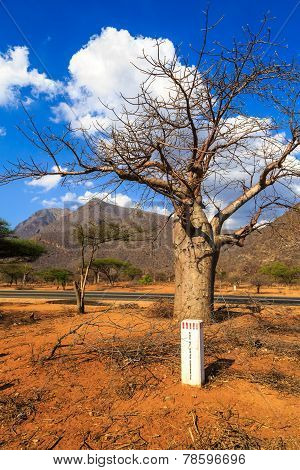 Baobab Tree Along The An African Road