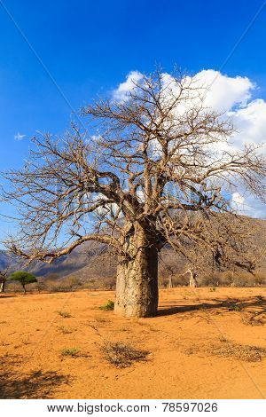 Baobab Trees In A Valley In Tanzania