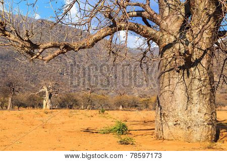 Trunk Of Baobab Tree In A Boabab Forest