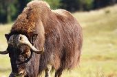 pic of oxen  - Big male musk ox Ovibos moschatus in a prairie looking at camera - JPG