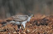 image of goshawk  - Photo of wild northern goshawk in a forest clearing - JPG