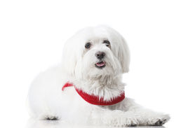 pic of bichon frise dog  - Bichon puppy with red collar isolated on white - JPG