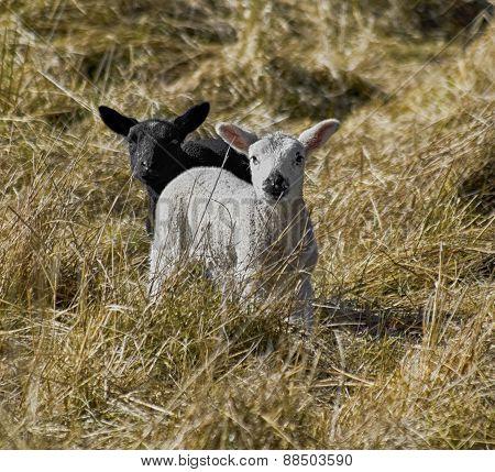 Black and White Lambs