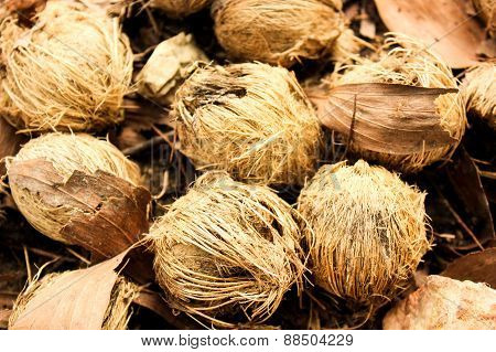 Ripe Areca Nuts Or Betel Nuts Of Palm Tree Used Make Oil Color Colorful
