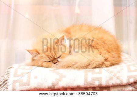 Beautiful persian kitten sleeping on woolen blanket