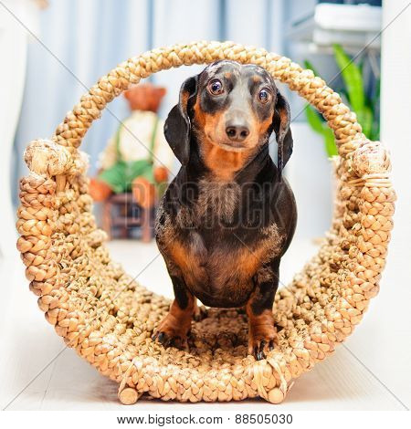 Happy Dog - Dachshund