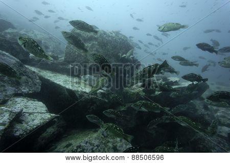 Rockfish Sebastes steindachneri