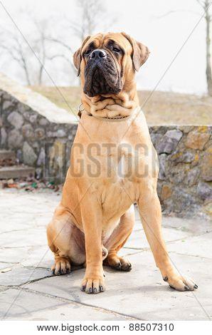 Junior Bullmastiff Dog